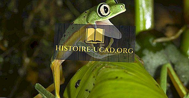 Anfibi in grave pericolo di estinzione della Costa Rica
