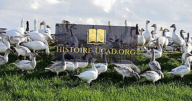 środowisko - Snow Goose Facts: Zwierzęta Ameryki Północnej
