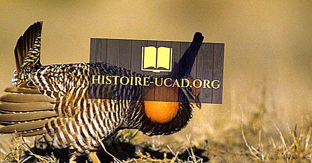 Prairie Chicken Facts: Tiere Nordamerikas