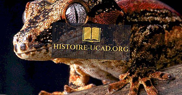 بيئة - حقائق Gargoyle Gecko: حيوانات أوقيانوسيا