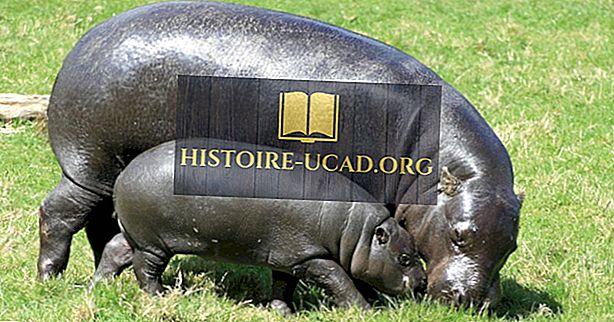 środowisko - Pygmy Hippo Facts: Zwierzęta Afryki
