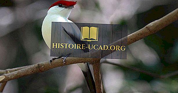 Brazilsko kritično ogrožene endemične ptice