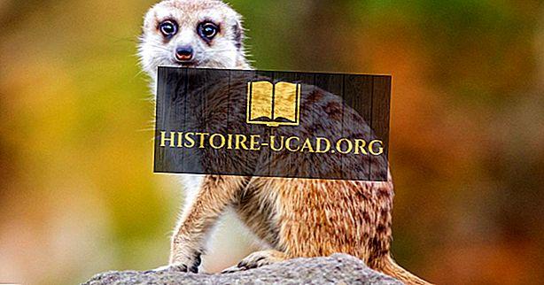 Meerkat činjenice: životinje Afrike