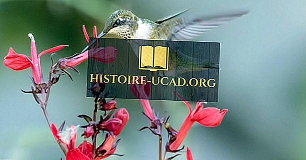 حقائق الطائر الطنان: حيوانات أمريكا الشمالية