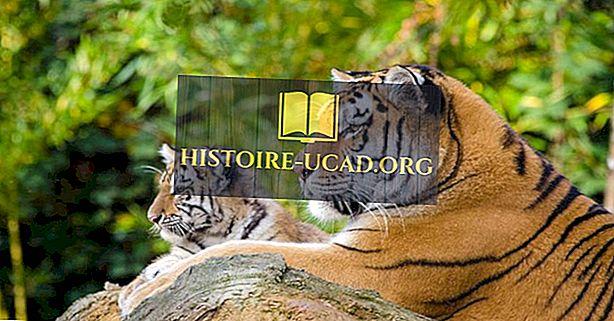 Kokie yra šiandien gyvenančių tigrų tipai?