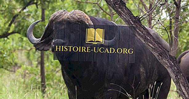 Fatos do Búfalo do Cabo: Animais da África