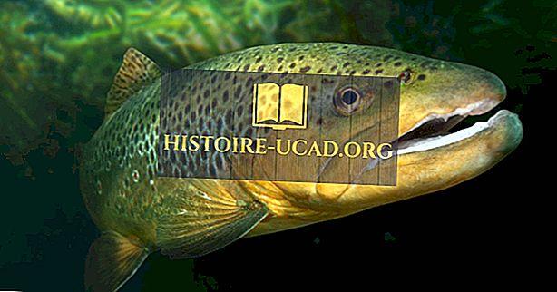 الأنواع السمكية الأصلية من منغوليا