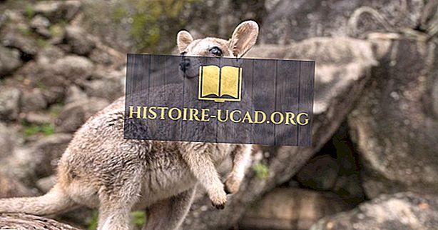 Fakta Wallaby: Hewan Oseania