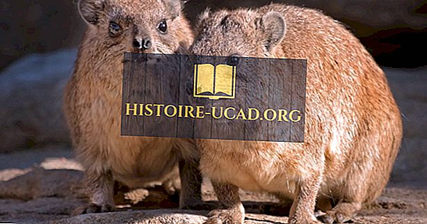 Rock Hyrax Feiten: dieren van Afrika