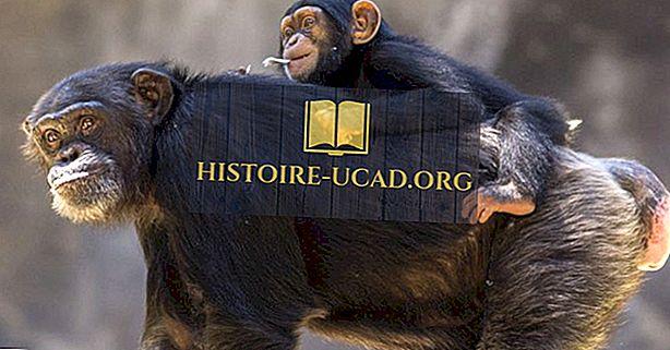 Сколько существует типов шимпанзе?
