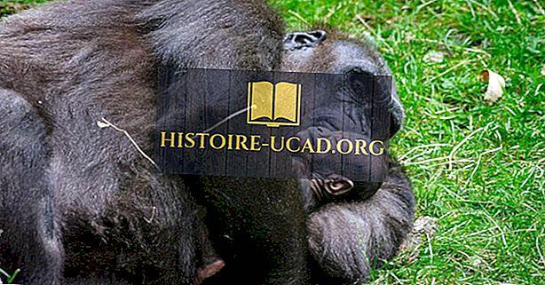 Сколько видов горилл есть?