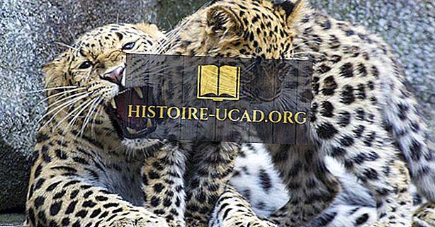 Kuinka monta leopardityyppiä elää maailmassa tänään?