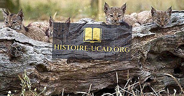 Berapa Banyak Jenis Lynx Hidup Di Dunia Saat Ini?