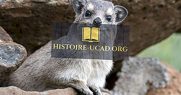 Hechos de Hyrax: Animales de África