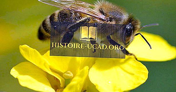 ¿Por qué las abejas se extinguen?