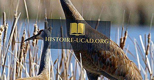 Sandhill Crane Facts: Živali Severne Amerike