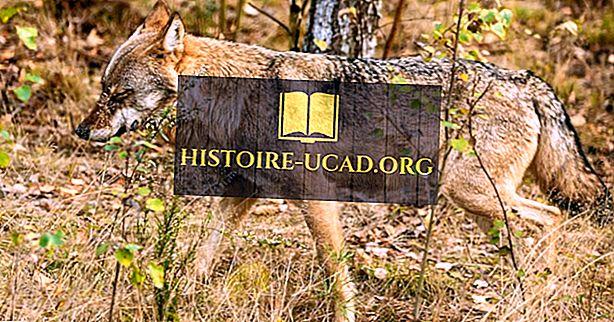 среда - Факты о евразийских волках: животные Европы