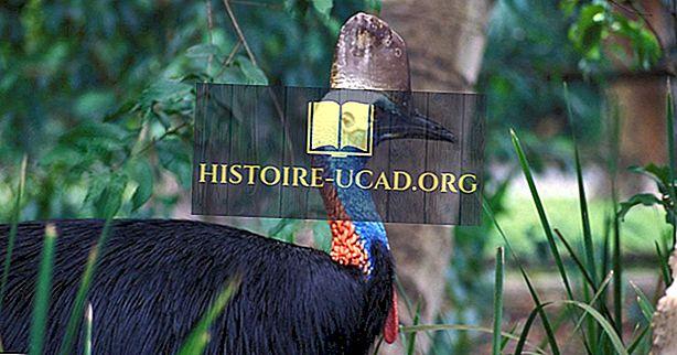 De tre artene av The Cassowary Bird Living i dag