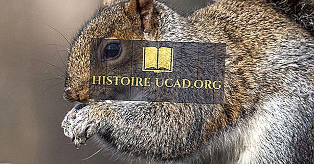 környezet - Keleti szürke mókus tények: Észak-Amerika állatai