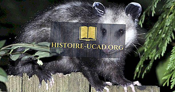 środowisko - Virginia Opossum Facts: Zwierzęta Ameryki Północnej