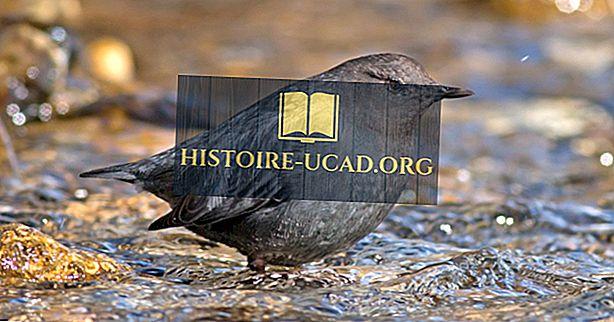 Вода Ouzel факти: Животни от Северна Америка