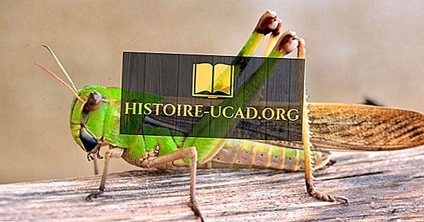 Jaký je rozdíl mezi kobylkami a kobylkami?
