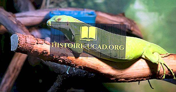 środowisko - Green Iguana Facts: Zwierzęta Ameryki Północnej