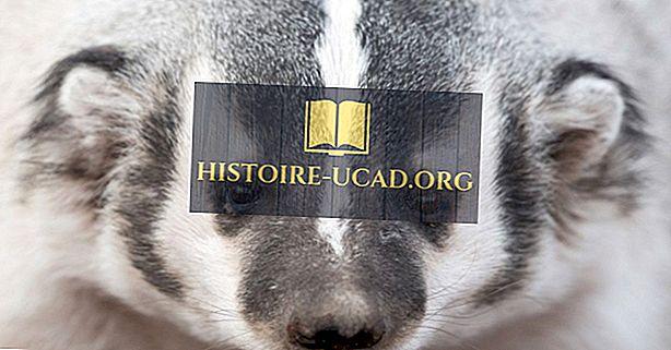 környezet - Amerikai Badger tények: Észak-Amerika állatai
