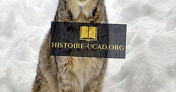 Sự kiện Lynx của Canada: Động vật Bắc Mỹ