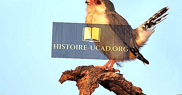 Pigmy Falcon - Živali iz Afrike
