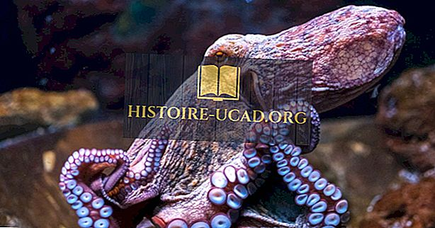 Fakta gurita - Haiwan Lautan