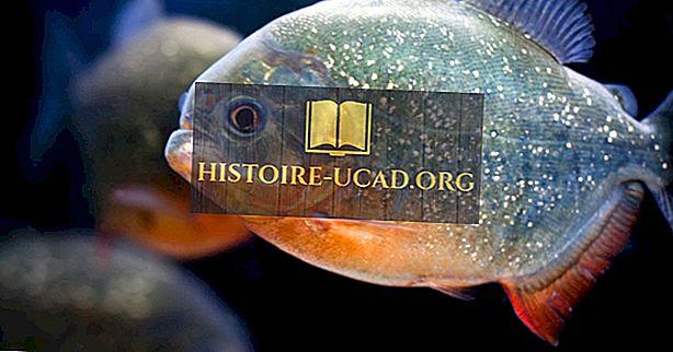 Fakta Piranha - Haiwan Amerika Selatan