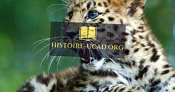 Fakta Amura Leoparda - zvířata Eurasie