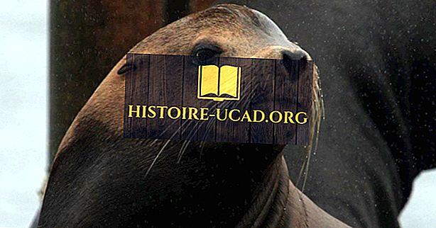 környezet - Kalifornia tengeri oroszlán tények: Észak-Amerika állatai