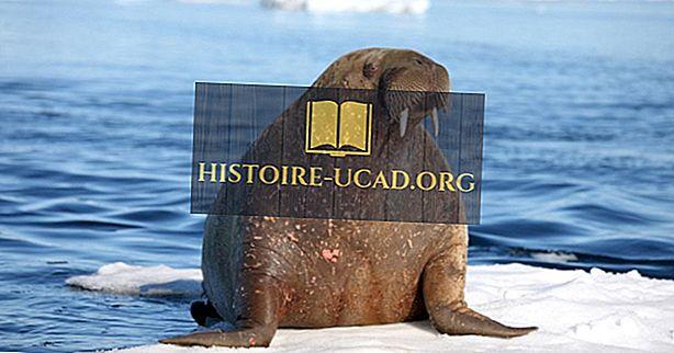 Walross Fakten - Tiere des Ozeans