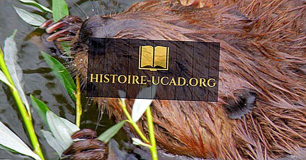 környezet - Észak-amerikai Beaver tények: Észak-Amerika állatai