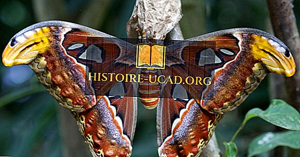 Atlas Moth Fakta - Dyr i Sørøst-Asia
