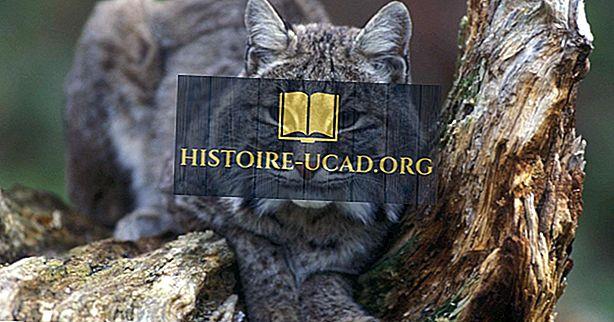 környezet - Bobcat tények: Észak-Amerika állatai