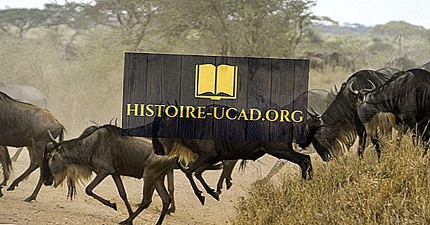 środowisko - Fakty gnu: Zwierzęta Afryki