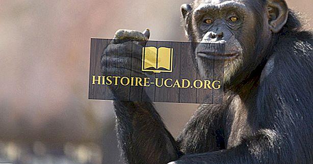 Šimpanzių populiacija ir pasiskirstymas: svarbūs faktai ir skaičiai