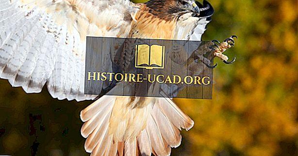 környezet - Red-Tailed Hawk Tények: Észak-Amerika állatai