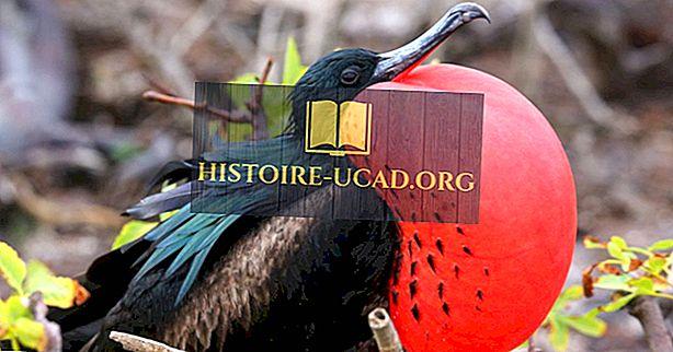 세계에서 살고있는 다섯 종의 프리깃 새