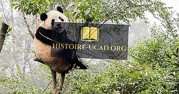 La population de pandas géants - faits et chiffres importants