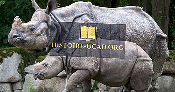 La popolazione di rinoceronti indiani: fatti e cifre importanti