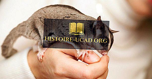 Fakta Glider Gula Haiwan Oceania Histoire Ucad Org