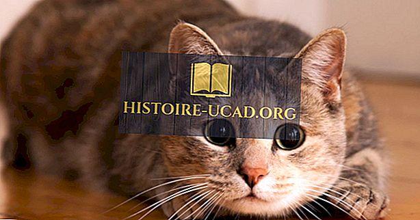 Kako govoriti mačka: Cat tijelo jezik dešifrirati