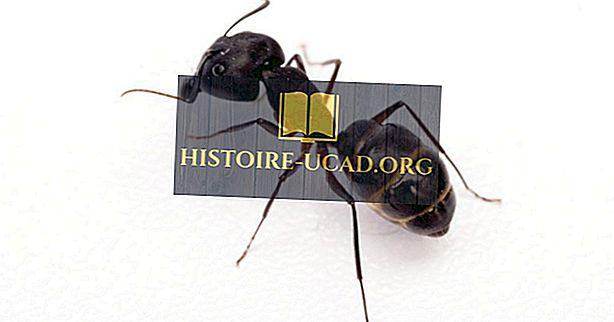 Įspūdingi faktai apie skruzdėlės