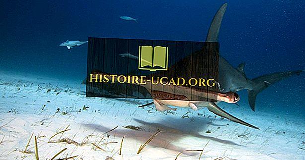 Faits sur le requin marteau - Les animaux de l'océan