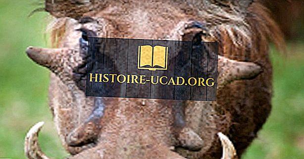 Общи Warthog факти: Животни от Африка