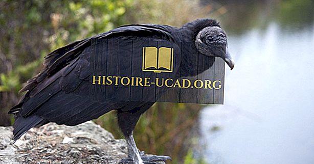 Black Vulture Facts: Zwierzęta Ameryki Północnej
